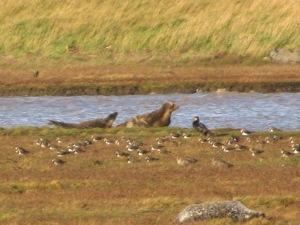 Seals at Greatham